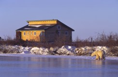 Polar bear walks on the ice in front of Churchill Wild's Dymond Lake Ecolodge. Dennis Fast photo.