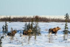 Moose! Dymond Lake Ecolodge.