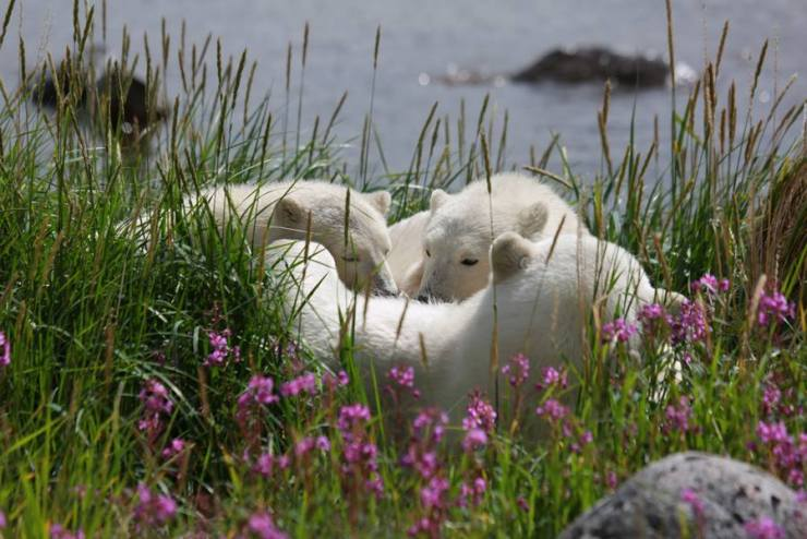 Polar bear mother and cubs at Seal River Heritage Lodge. Allison Francoeur photo.