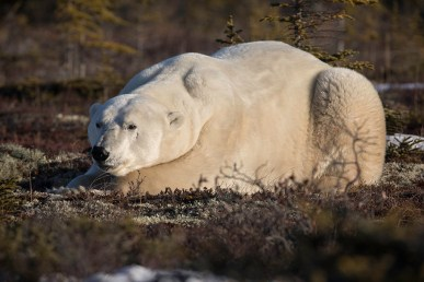 Big. Powerful. Polar Bear. Dymond Lake Ecolodge. Robert Postma photo.