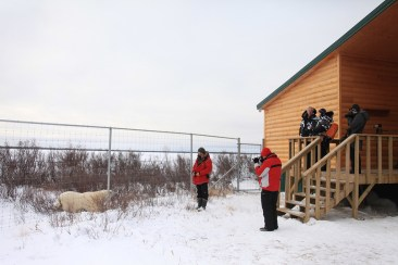 Polar bear at lodge fence. Dymond Lake Ecolodge. Churchill Wild. Dafna Bennun photo.