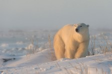 Polar bear in soft light. Dymond Lake Ecolodge. Great Ice Bear Adventure. Dennis Fast photo.