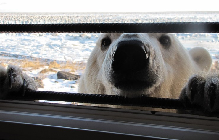 Is that a polar bear at my window? Not anymore.