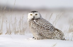 Snowy Owl at Dymond Lake Ecolodge. Great Ice Bear Adventure. Dennis Fast photo.