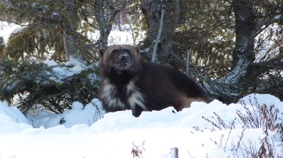 Boss wolverine. Great Ice Bear Adventure. Dymond Lake Ecolodge. Churchill Wild. Terry Elliot photo.