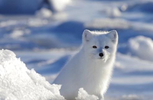arctic-fox-churchill-wild-seal-river-heritage-lodge-elizabeth-coates