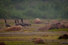 arctic-fox-geese-churchill-wild-seal-river-heritage-lodge-jason-holzworth