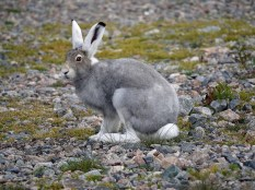 arctic-hare-churchill-wild-seal-river-heritage-lodge-jayne-shepard