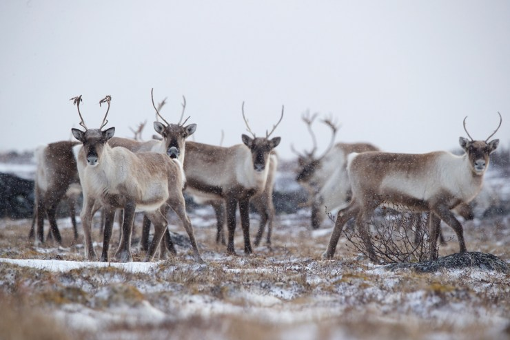 Caribou return to Seal River. Andy Skillen photo.