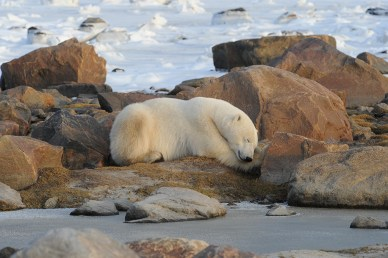polar-bear-churchill-wild-seal-river-heritage-lodge-steve-mcdonough