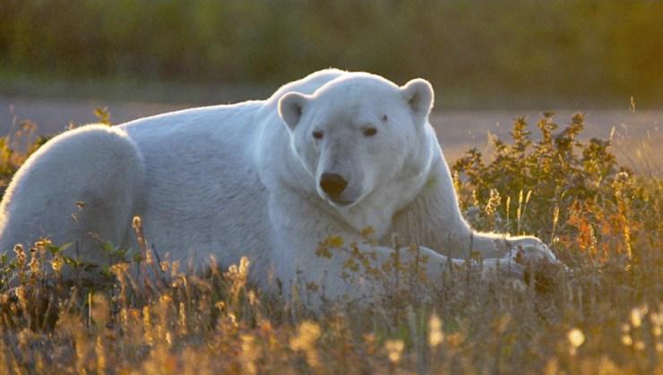 Polar bear in fall colours at Nanuk