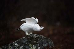 ptarmigan-churchill-wild-seal-river-heritage-lodge-linda-hammond