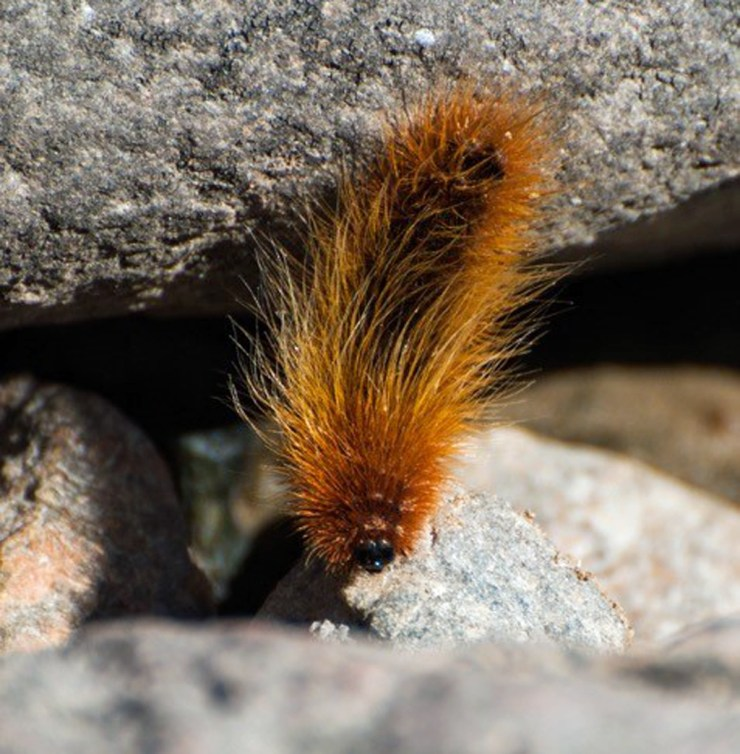 Arctic Wooley Bear caterpillar at Seal River Heritage Lodge. Paul Scriver photo.