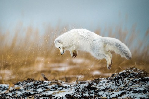 arctic-fox-churchill-wild-seal-river-heritage-lodge-robert-hlavica