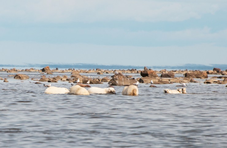 Polar bear lunch meeting at Seal River Heritage Lodge. Paul Scriver photo