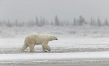 polar-bear-churchill-wild-nanuk-polar-bear-lodge-charles-glatzer