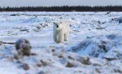 polar-bear-churchill-wild-nanuk-polar-bear-lodge-soren-hansen