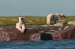 polar-bear-churchill-wild-seal-river-heritage-lodge-dennis-fast
