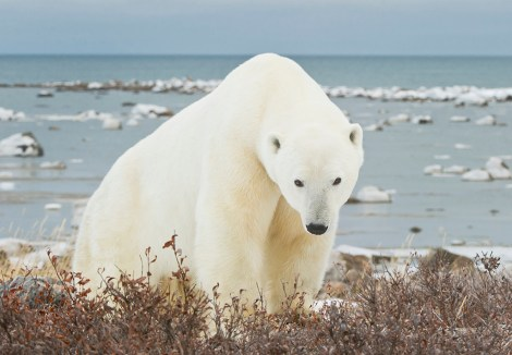 Big polar bear gazes at us at Seal River. Larry Kinney photo.