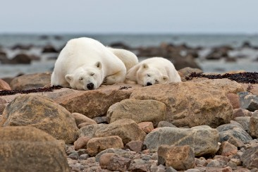 Sleepy polar bear Mom and cub at Seal River Heritage Lodge. Xie Jianguo photo.
