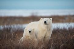 polar-bear-mom-cub-churchill-wild-nanuk-polar-bear-lodge