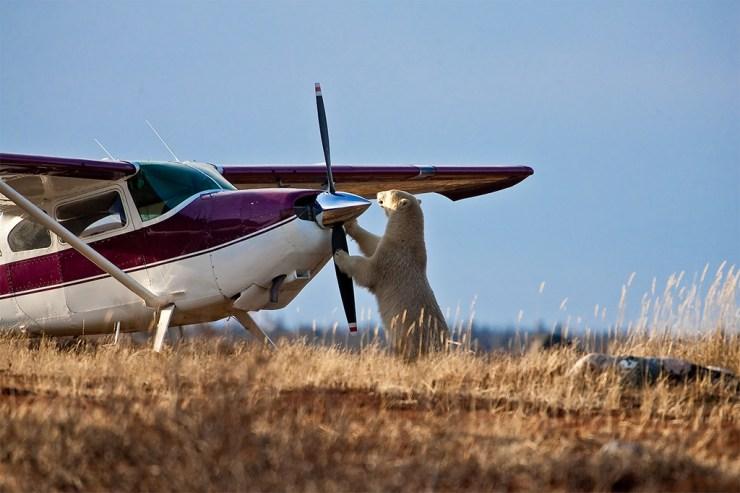 Polar bear inspects propeller at Dymond Lake Ecolodge.