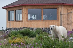 Polar bear in front of Seal River Heritage Lodge. Dennis Fast photo.