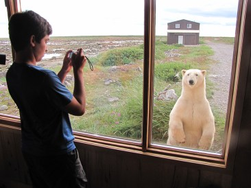 Curious polar bear outside the window at Seal River Heritage Lodge. Mike Reimer photo.