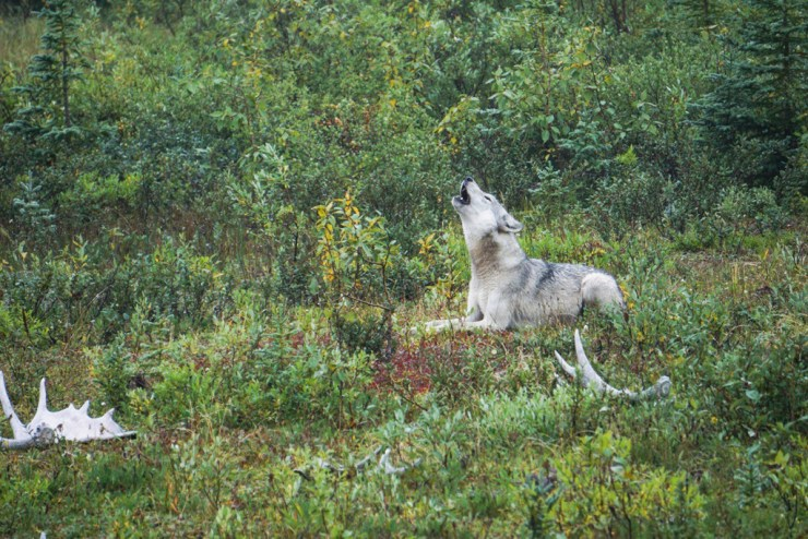 Wolf howling for pack in front of Nanuk Polar Bear Lodge. Paul Scriver photo.