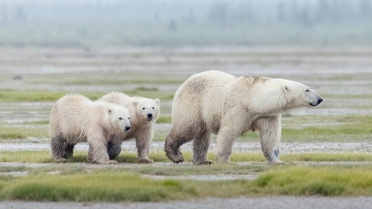Polar bear family at Nanuk. Photo courtesy of Churchill Wild guest An Xiao. Click image for full album.
