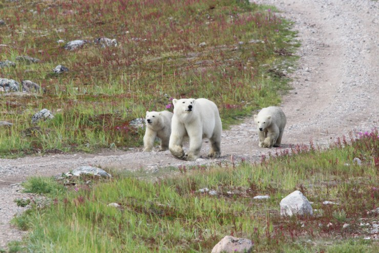 Look who arrived to greet us back at the lodge! Photo by Churchill Wild guest Jack Moss.