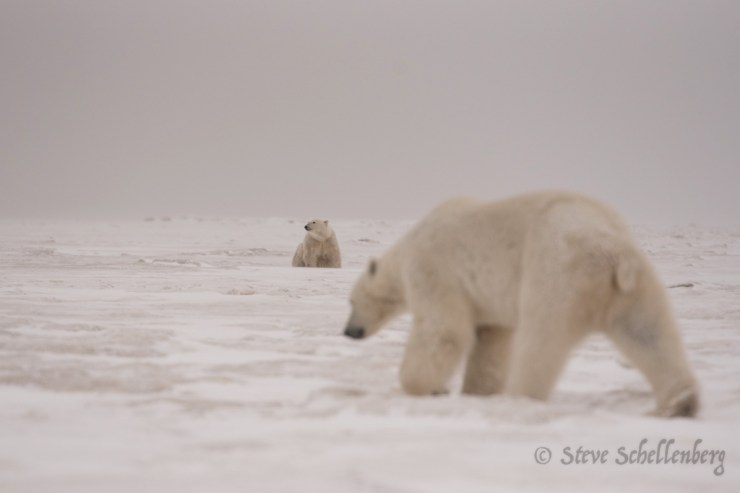 """We had days when there were 3-4 polar bears wandering around checking us out..."" ~ Steve Schellenberg photo."