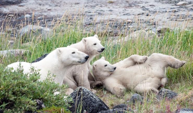 Polar bear family at Seal River Heritage Lodge. Paul Scriver photo.