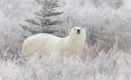 polar-bear-in-frosty-willows-nanuk-polar-bear-lodge-charles-glatzer