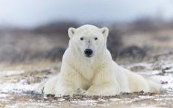 polar-bear-posing-churchill-wild-charles-glatzer