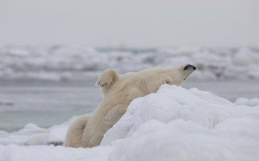 polar-bear-stretching-seal-river-heritage-lodge-charles-glatzer