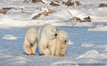 polarbearcubswithmomsealriverheritagelodgecharlesglatzer1k