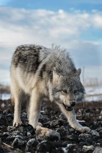 Lone wolf. Seal River Heritage Lodge. Charles Glatzer photo.