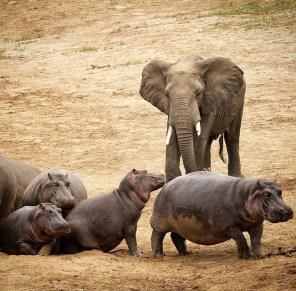 elephantandhipposanjalisingh