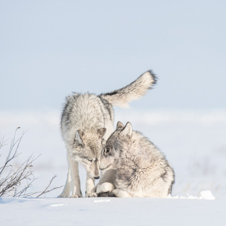 Sentimental secrets. Wolf couple at Nanuk Polar Bear Lodge. Jad Davenport photo. National Geographic Image Collection. Instagram: @natgeoimagecollection #whatweliked ~ Click image for more.