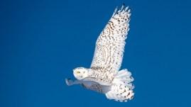 snowy-owl-nanuk-polar-bearlodge-jad-davenport - Copy