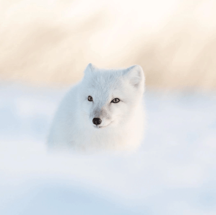 Cool Arctic fox. Seal River Heritage Lodge. George Turner photo.