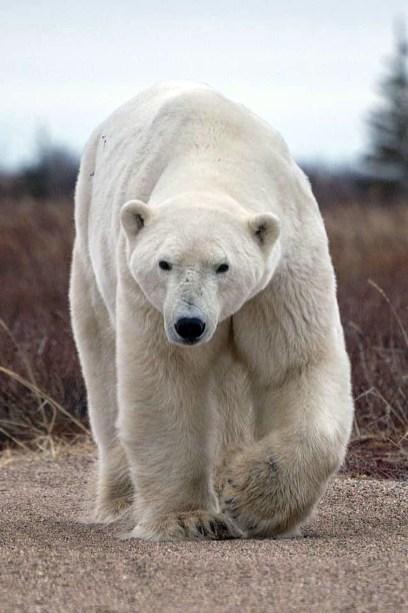 Go ahead. Take my picture. Polar Bear Photo Safari. Seal River Heritage Lodge. Robert Postma photo.