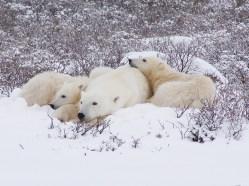 polar-bear-churchill-wild-dymond-lake-ecolodge-graham-copping