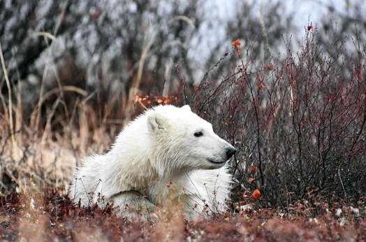 Polar bear cub. Dymond Lake Ecolodge. Great Ice Bear Adventure. Allison Francoeur photo.