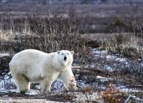 Great Ice Bear posing as Great Ice Bear. Dymond Lake Ecolodge. Allison Francoeur photo.