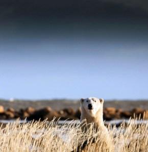 Polar bear In the wllows. Seal River Heritage Lodge. Polar Bear Photo Safari. Chase Teron photo.