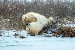 Rolling polar bear. Nanuk Polar Bear Lodge. Mark Hunter photo.