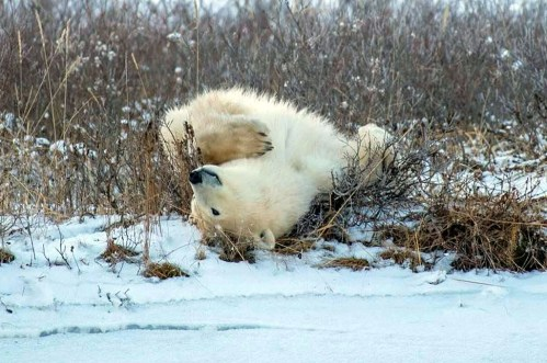 Rolling polar bear. Nanuk Polar Bear Lodge. Mark Hunter photo.