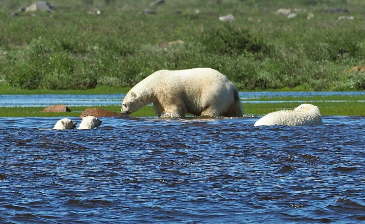 Polar bear hunting beluga whales near Seal River Heritage Lodge as cubs look on.